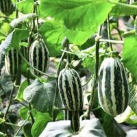 产地直供博洋9号蜜甜瓜 春季头茬瓜 新鲜水果羊角蜜瓜