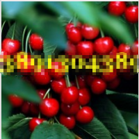 陕西大棚樱桃产地价格,大棚樱桃产地行情